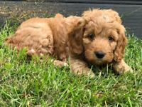 Stunning Toy Cockapoo Puppies - 4 available All boys