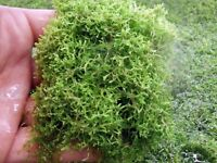 Crystalwort & Duckweed - Mixed Floating Live Aquatic Plants - FREE UK P&P