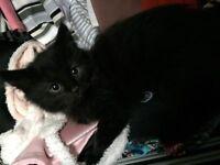 3 Female kittens for sale £30 each