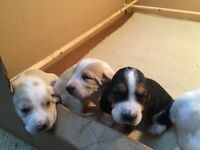3 male Basset Hound puppies for sale.