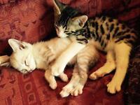 Stunning Bengal cross kittens