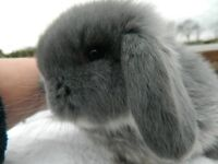 Rabbits Mini Lop