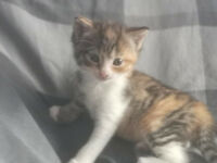 3 adorable 8 week old kittens for sale 1 x tom, 2 x queens, now ready