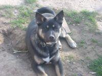 Akita Cross German Shepherd