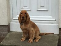 6 month old golden Cocker Spaniel male pup.
