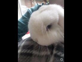 Mini lop doe rabbit