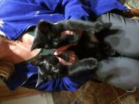 Two black kittens free to a good home!