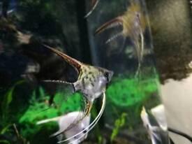 Longfin Angelfish