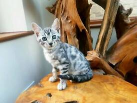 Silver Bengal, superb 2tone markings & Silver Shine