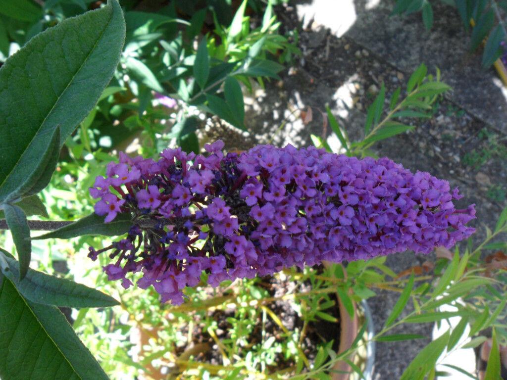 Buddleia Plant Butterfly Bush Cottage Garden Shrub Purple Flowers