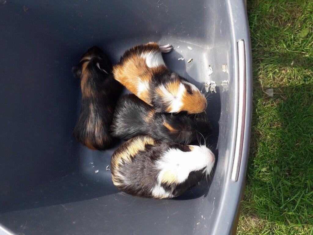 Male guinea pigs | in Downham Market, Norfolk | Gumtree