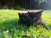 2 cute and playful black kittens with stripes