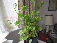 Spider plants, money plants (Jade), pothos (ivy), cacutus from £3.