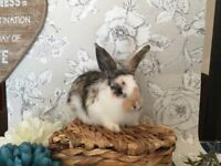 BRC Rung & non BRC Rung Mini Rex, Mini/Dwarf/German/French Lops & Angora Rabbits For Sale