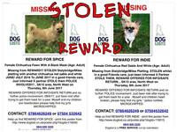 2 Stolen Chihuahuas