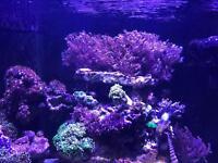 Xenia coral for sale