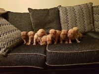 Kc dogue de bordeaux puppies 3 remaining