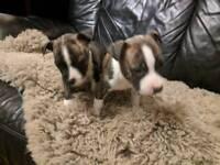 Staff Bull Puppies