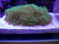 For sale a green star polyps soft coral for marine