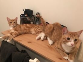 Male ginger cats nearly 9 months old