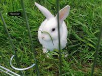 New Zealand/Lop White Rabbits 2 Bucks and 1 Doe