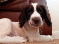 Sprocker puppies for sale