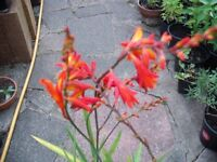 Large Pots Of Hardy Garden Plant Scottish Montbretia (stay out all winter)