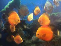 large discus tropical aquarium fish tank fish for sale