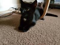 1 black kitten with white markings