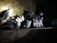 husky x gsd puppies