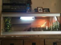 Adult Bearded Dragon with fully equipped vivarium.