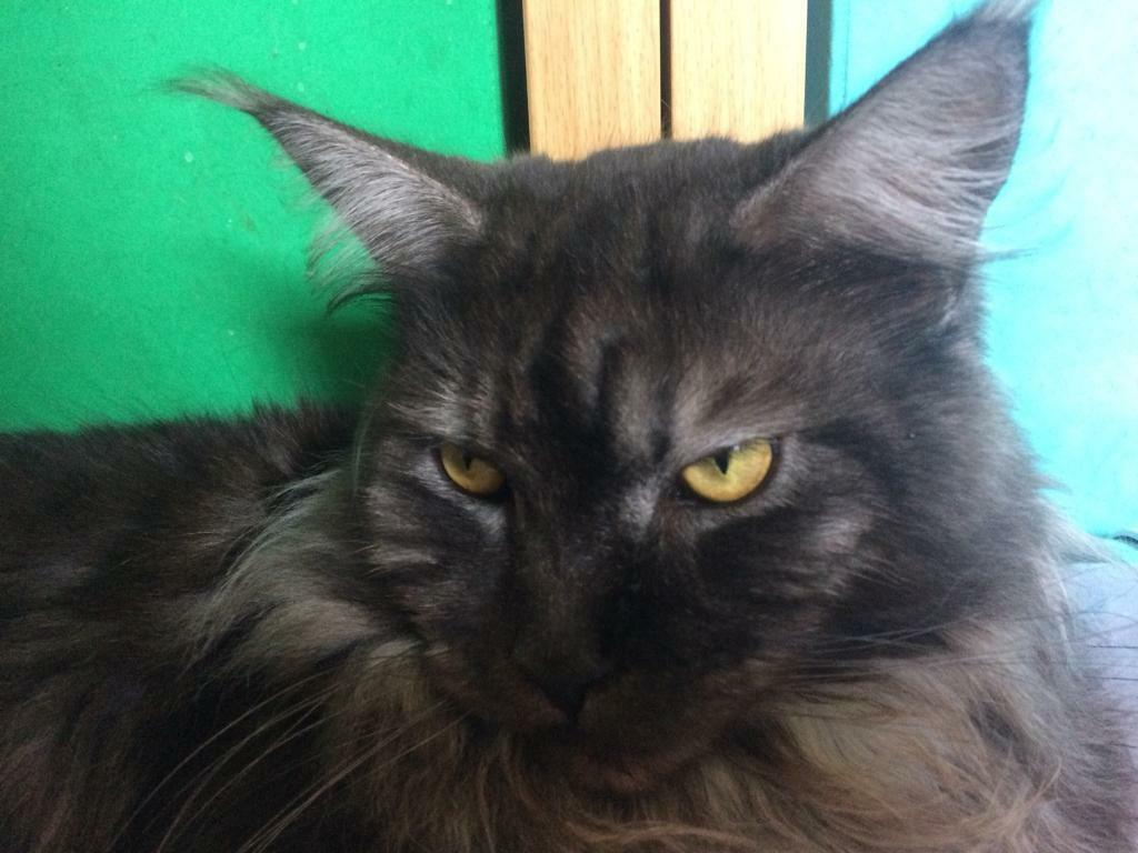 black smoke maine coon