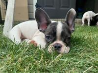 2 Merle and 2 Pied French bulldog looking for new homes.