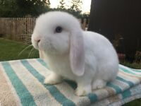 Blue eyed mini lop boys ready now