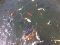 Koi carp and other pond fish