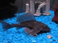 Two large Plecs and a couple of little fish, free to good home.