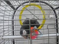 Bird cage on wheels, with opening top. Suitable for parrot (African Grey Size) or Cockatiel/s.