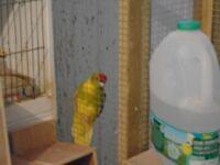 green/yellow cock kakariki. split for blue.