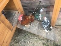 4 Bantam Chickens for sale
