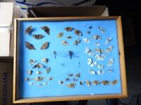 Butterfly taxidermy display in varnished wood glazed case.