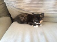 8 week old kittens black ginger and white