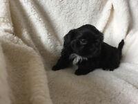 Pedigree Shihtzu puppies boys and girls