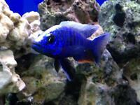 Malawi Cichlids / Haplochromis / Scienochromis Fryeri / Electric Blue Haps