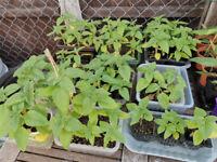 Dwarf mini sunflowers plants ( £1 for 2 plants)