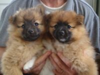 6 POMERANIAN PUPPIES FOR SALE - 9 WEEKS OLD