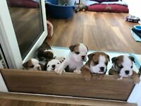 English bulldog puppies K.C. registered absolutely stunning