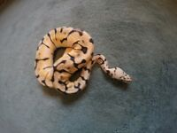 BUMBLEBEE royal python. AMAZING COLOUR