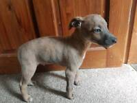 Whippet cross Parson Russell puppies for sale
