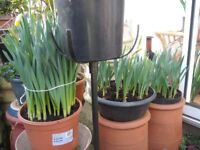 Large Pots Ot Daffodils (about to flower)