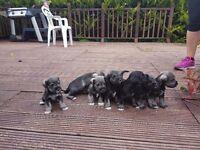 Schnauzer Puppies Miniature 2 left